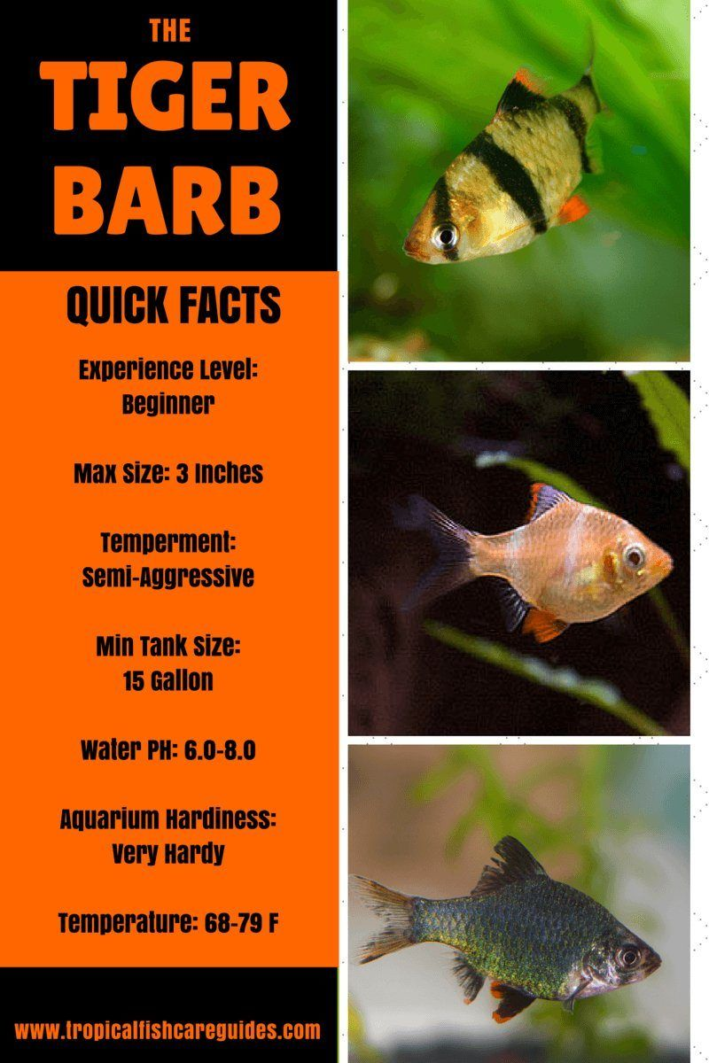 Ultimate Guide To Tiger Barb Fish Care Feeding Breeding Tankmates Fish Care Tiger Fish Tropical Fish Aquarium