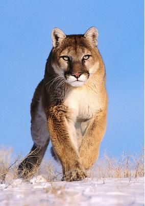 a019cf2377125 Adult Mountain Lions range in color from tawny gray, tawny red and ...