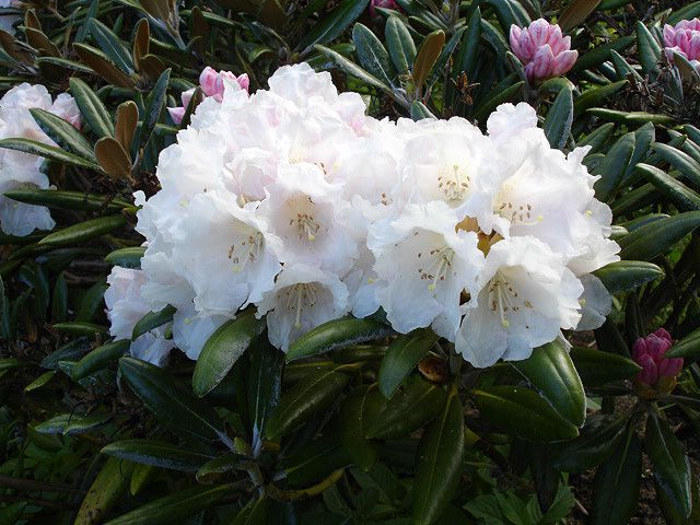 Nepal National Flower Rhododendron National Symbols Pinterest