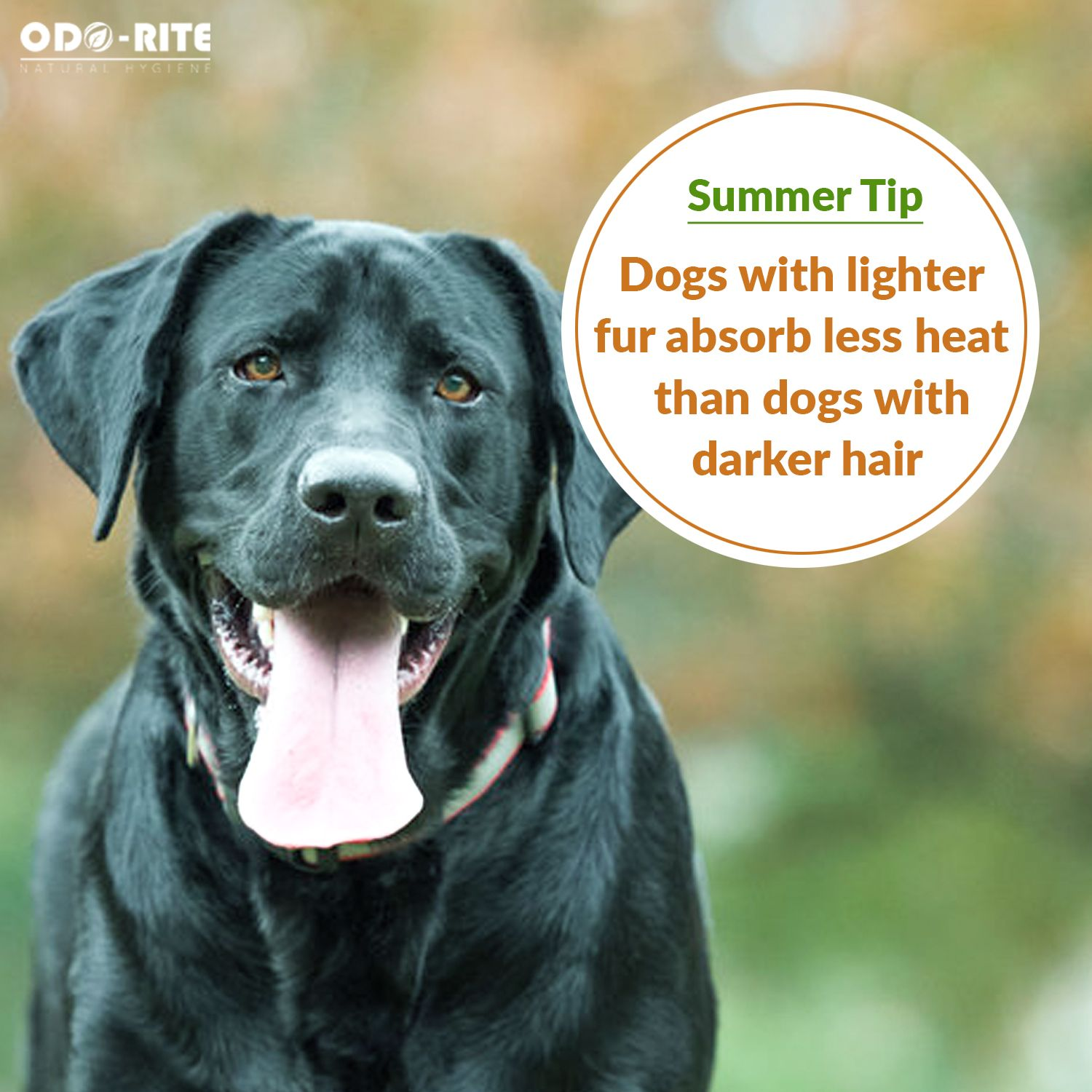 Summer Can Be Heavy On Dogs Overweight Dog Dogs Summer