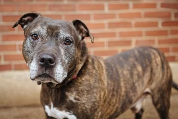 12 / 18 ***SENIOR*** Petango.com – Meet Duke, a 8 years 10 months Terrier, Pit Bull / Mix available for adoption in PHILADELPHIA, PA Contact Information Address 1040 N 2nd Street Street , Unit 401, PHILADELPHIA, PA, 19123 Phone (215) 238-0981 Website http://www.streettails.org Email lindsay@streettails.org