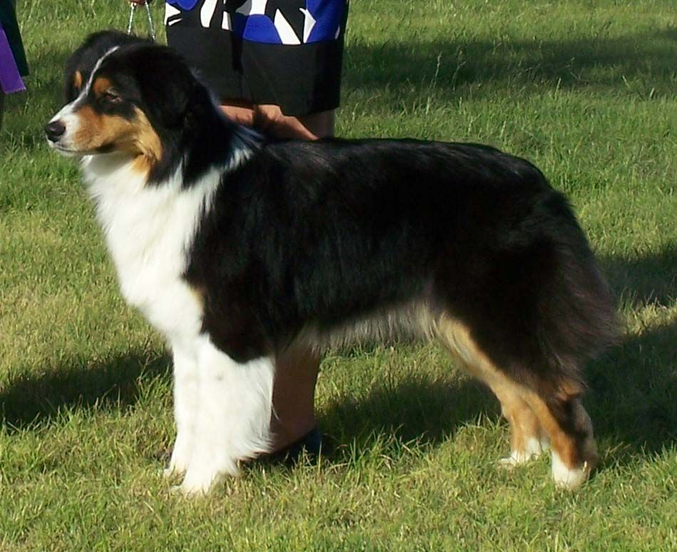 Imgs For Gt Aussie Tri Color Aussie Dogs Border Collie Collie