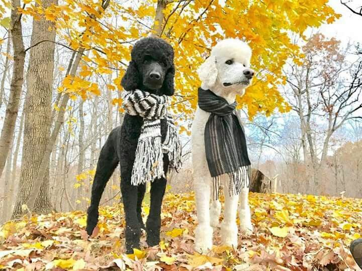 Essa é a classe do poodle.....um charme só!