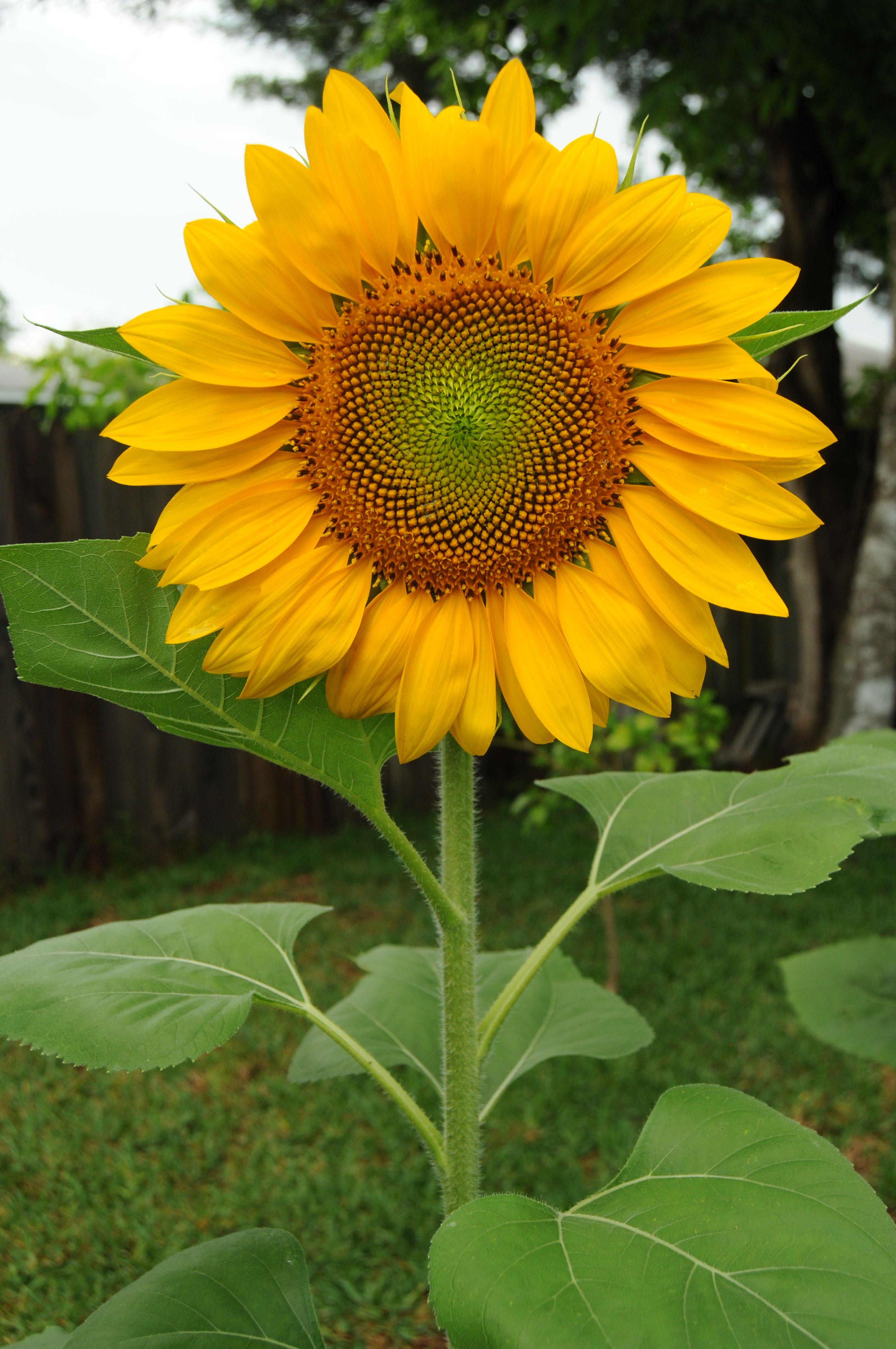 Sunflowers make me smile..