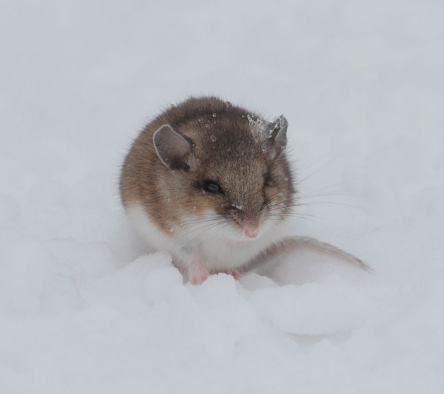 field mouse vs house mouse | The deer mouse is a common ...