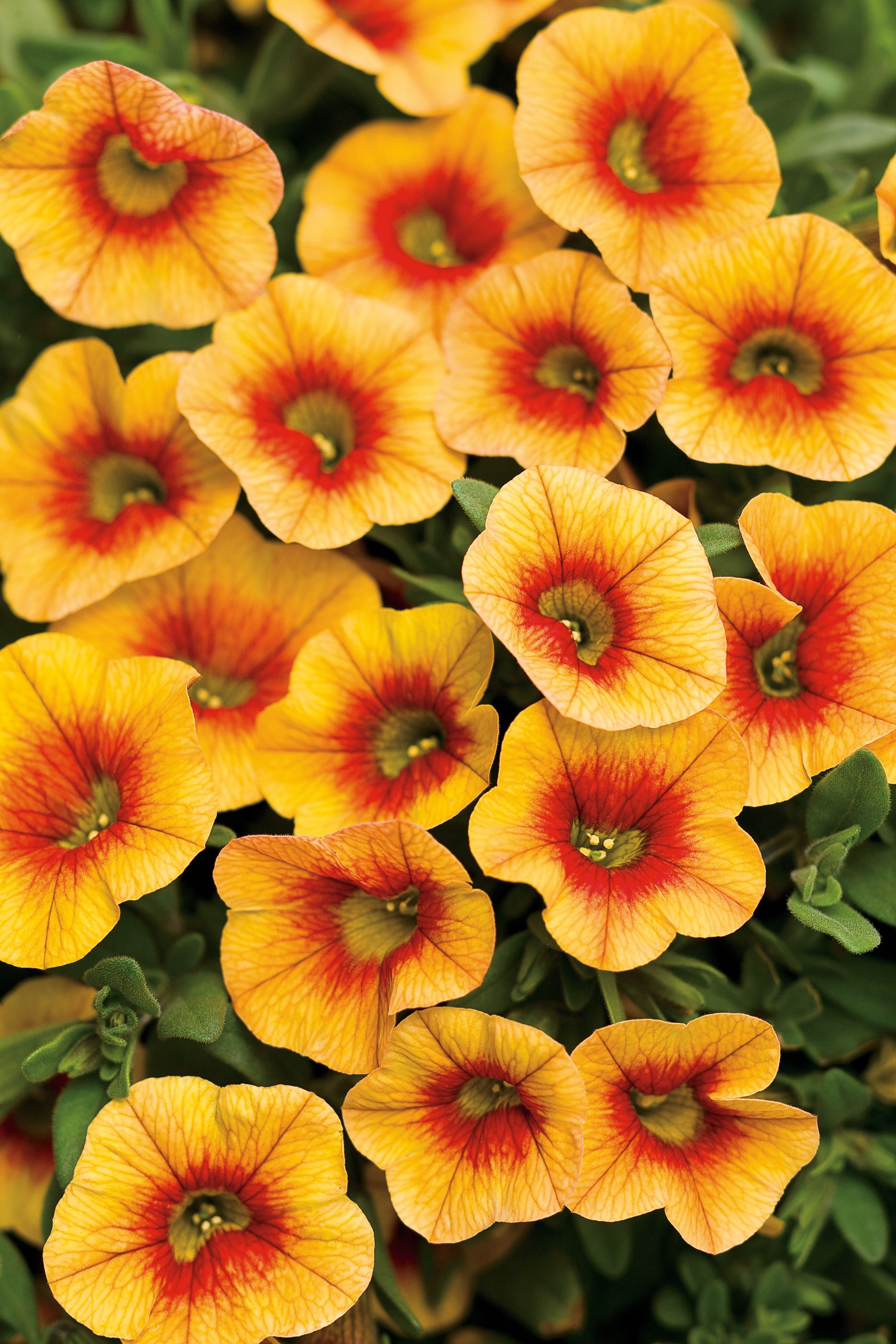 Superbells Apricot Punch Calibrachoa Hybrid Petunias Annual Flowers Yellow Flowers Names