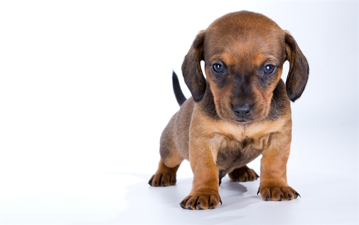 Download Wallpapers Small Dachshund Brown Little Puppy White Background Dogs Cute Animals Pets Puppies Cuteb Puppies Dachshund Wallpaper Brown Dachshund