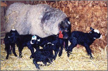 Romanov sheep   Romanov Lambs   Sheep farm, Sheep breeds, Sheep