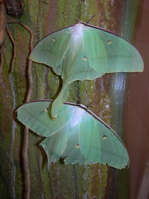 The Indian Moon Moth or Indian Luna Moth, Actias Selene, is a species of Saturniid moth from Asia, known to fly mainly at night. This species is popular among amateur entomologists and is often reared from eggs or cocoons that are available from commercial sources.