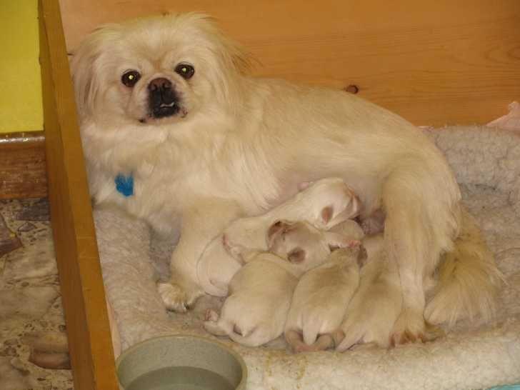 CKC Pekingese Puppies For Sale … | Coley's future puppies