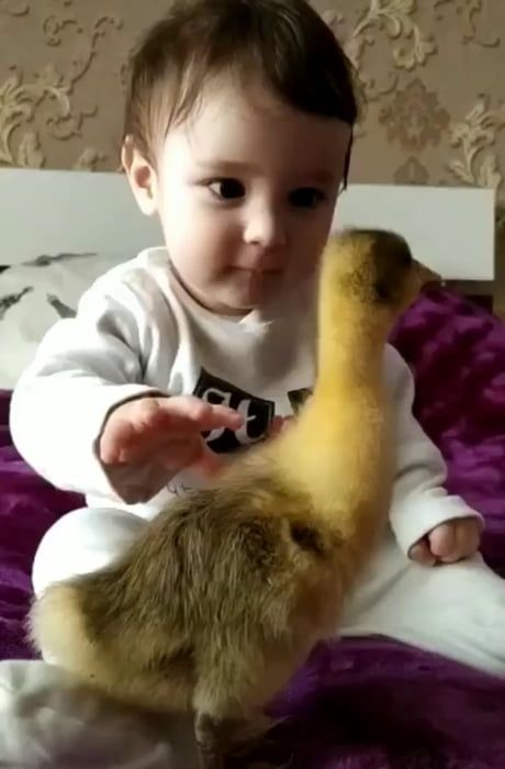 A baby is amazed and fascinated by his new pet duc