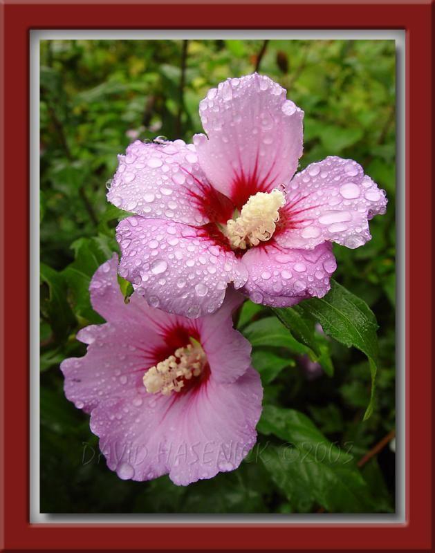 Korean National Flower Unlike Most Flowers The Mugunghwa Is