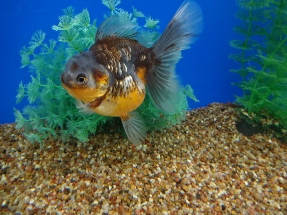 Lot 14668 Yellow Kirin Veil Tail Oranda Goldfish Fish Pet Pets