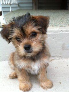 Shorkie Poo Puppies : shorkie, puppies, Shorkie, Puppies,, Cuddly, Animals,, Animals