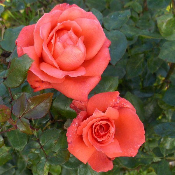 'Ave Maria' | Hybrid Tea Rose. Bred by Reimer Kordes (Germany, 1981).