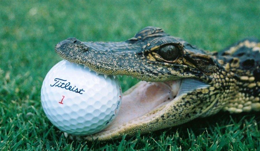 Image result for bad golf swing alligator funny
