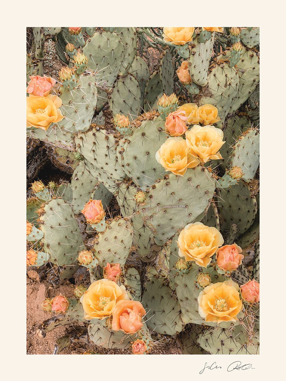 Prickly Pear Blooms Digital Print – The Joshua Tre