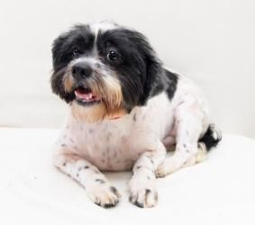 Adopt Joey Barker On Dogs Up For Adoption Shih Tzu Dog Dogs
