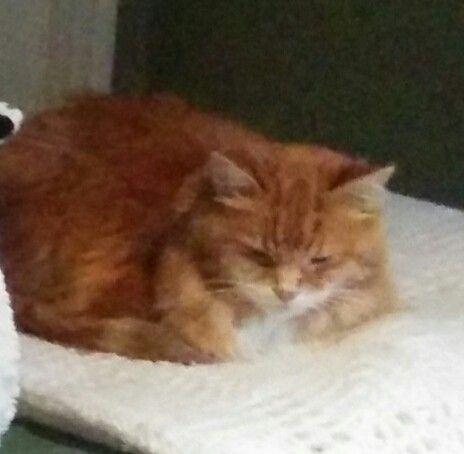 Lost Cat Domestic Medium Hair Hamilton On Canada L8p 4c4 Lost Cat Cats Tabby