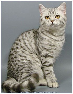 British Shorthair Cat Black Silver Spotted British Shorthair Cats British Shorthair American Shorthair Cat