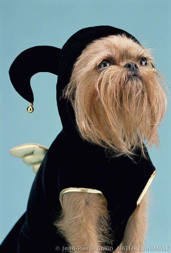 Griffon bruxellois et vêtement pour chiens