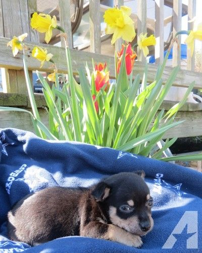 Pets And Animals For Sale In Hayes Virginia Puppy And Kitten Classifieds Buy And Sell Kittens And Puppies Kittens And Puppies Chihuahua Puppies Animals