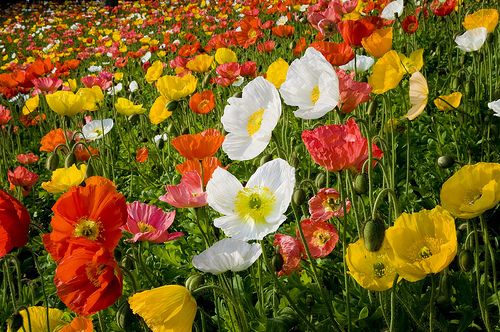 Poppy mix.  There's something so friendly about poppies.