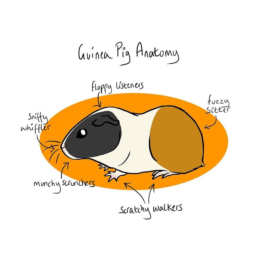 Guinea Pig Anatomy by mausekonig   G-Pig Videos~Art~Stuff ...