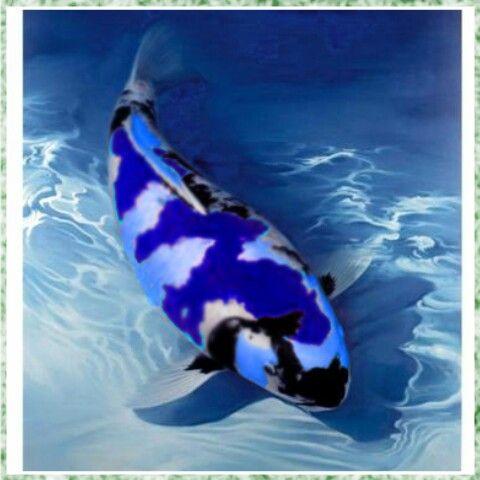Blue koi koi pinterest teiche koiteich und koi teiche for Japanischer kampffisch