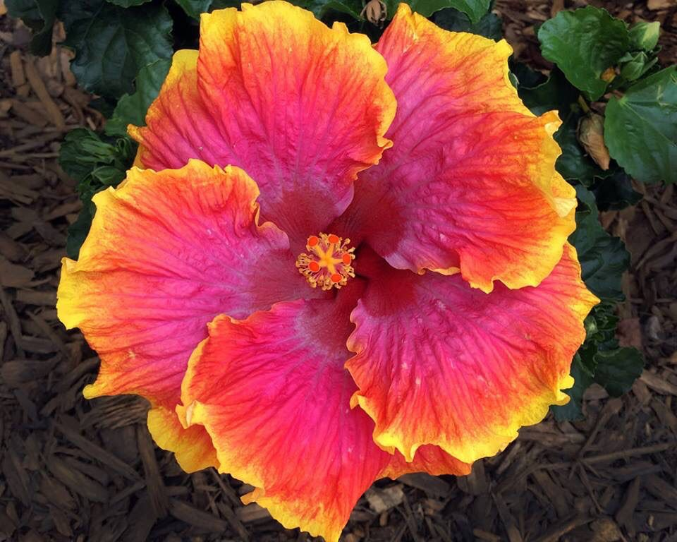 Pin By I An On Hibiscus Hibiscus Hibiscus Flowers Flower Beauty