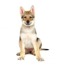 Il Cane Lupo Cecoslovacco è Un Cane Di Aspetto Lupoide E Di Taglia