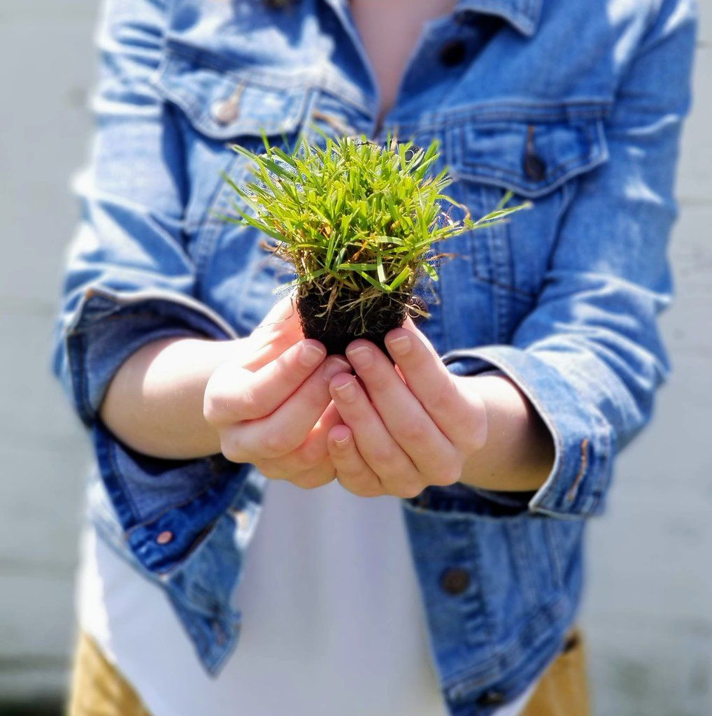 Zoysia Grass Plugs 50 Count Tray in 2020 Zoysia grass