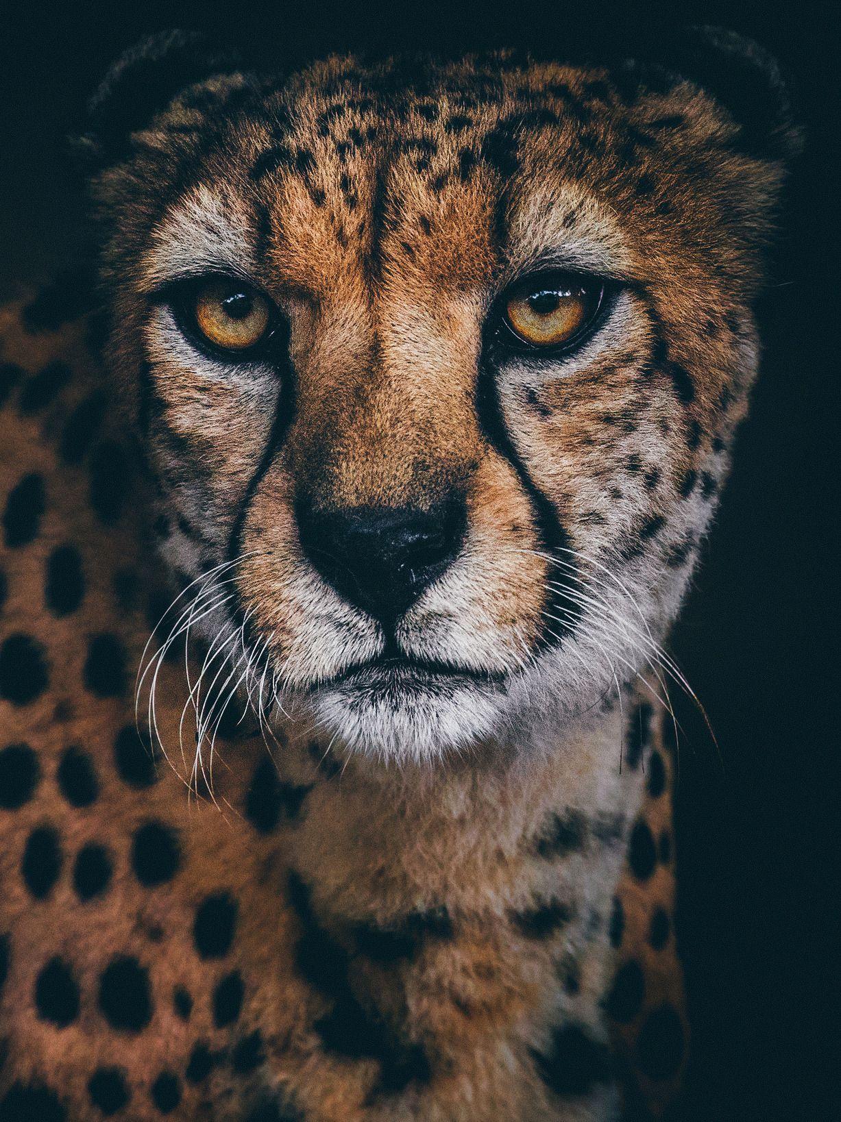Cheetah Portrait By Paul E M Big Cat Tattoo Cheetah Tattoo