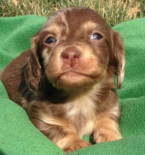 Blue Eyed Piebald Dachshund Puppies Ee Red Or Chocolate Based