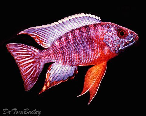 Malawi Peacock Cichlid Cichlids An Index To All The Cichlid Fish Listed In Aquariumfish Net Cichlid Fish Cichlids Aquarium Fish