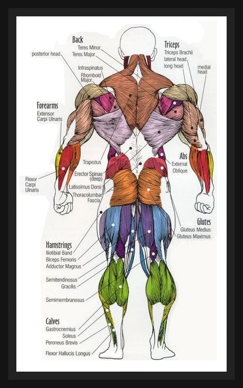 Human Anatomy Diagram With Images Muscle Anatomy Human Body