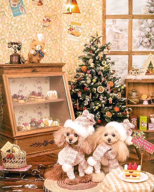 楽しみにしていた Milimilk Koguma さんの Christmas撮影会に行ってきました Miliさんマジック シフォンがお目目パッチリ開けてます 今年のフランとシフォンの素敵なchristmas記念になりました Puppilyhills さん Pupp 犬 可愛い 可愛い犬