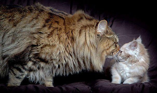 Gros Chat Du Monde 20-des-plus-gros-chats-du-monde-19 20 des plus gros chats du monde