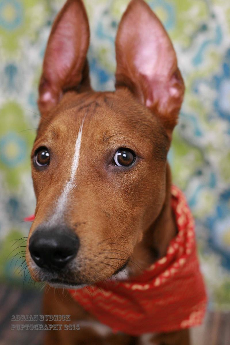 Adopt DEACON on Dog adoption, Pets, Pitbull terrier