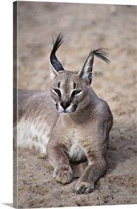 Caracal, nocturnal desert cat, Israel