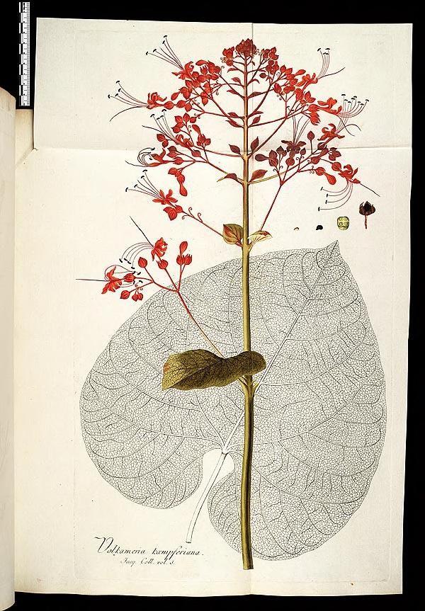 1781 93 V 3 Icones Plantarum Rariorum Edited By Nicolao Josepho Jacquin Botanica Illustrazioni