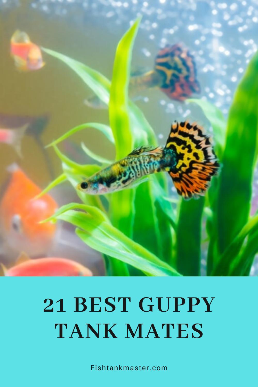 21 Best Guppy Tank Mates In 2020 Fish Tank Community Fish Tank Guppy