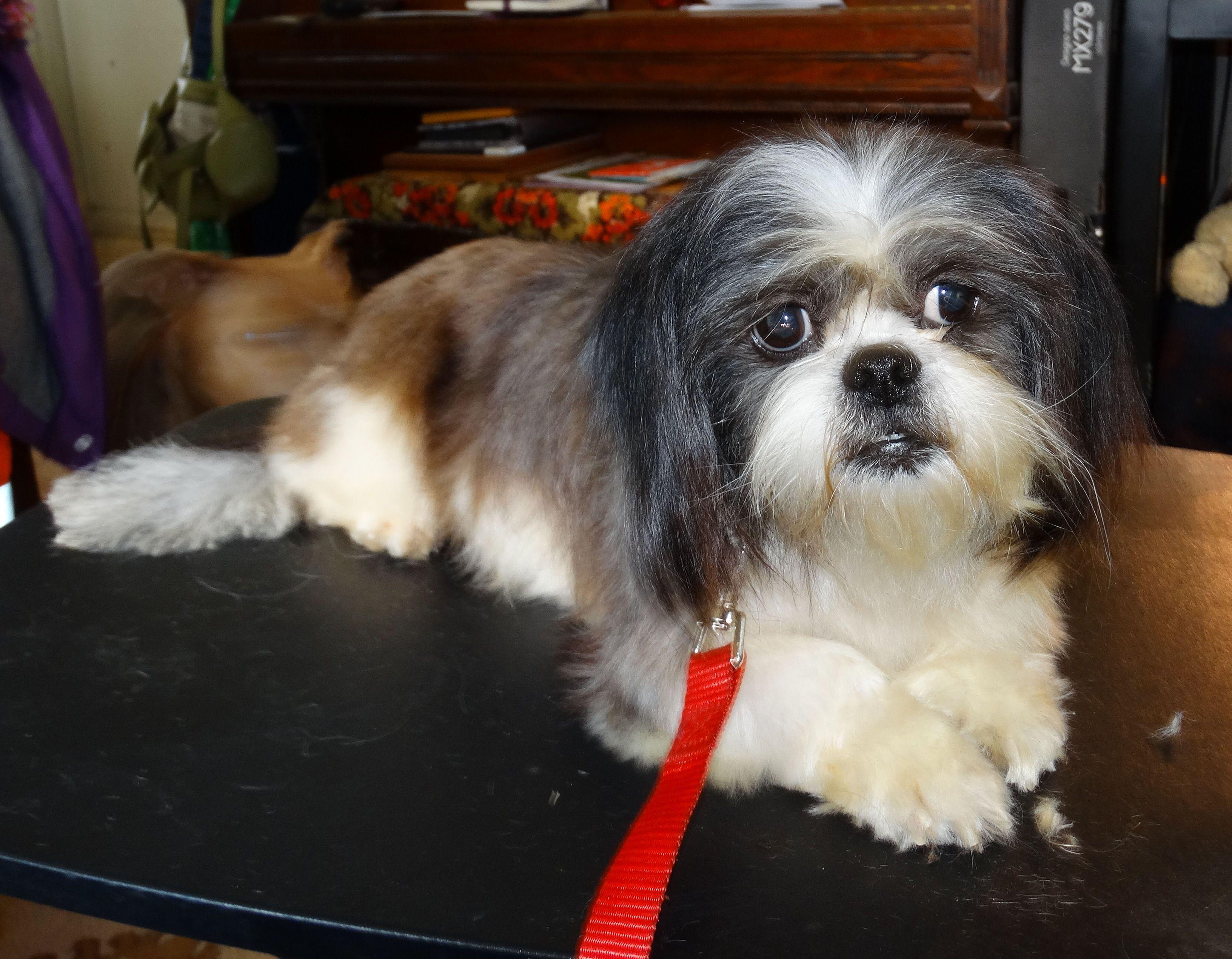 Shih Tzu Dog For Adoption In Tacoma Wa Adn 441340 On Puppyfinder