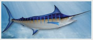 Blue Marlin - A Blue Marlin mount from Gray's is an impressive piece of art. Our paint artists have truly mastered the color schemes of this species. We are proud to say that no one else in the world can recreate a more life like reproduction..  The Blue Marlin (Makaira nigricans) is the largest trophy billfish and one of the biggest fish in the world. Common size is around 11 ft. (3.5 m) with a weight around 1.980 lbs. (900 kg) However females can exceed 14 ft.