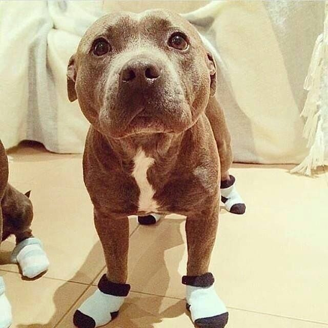 Happy Pitties In Socks Cute Pitbulls Cute Puppies