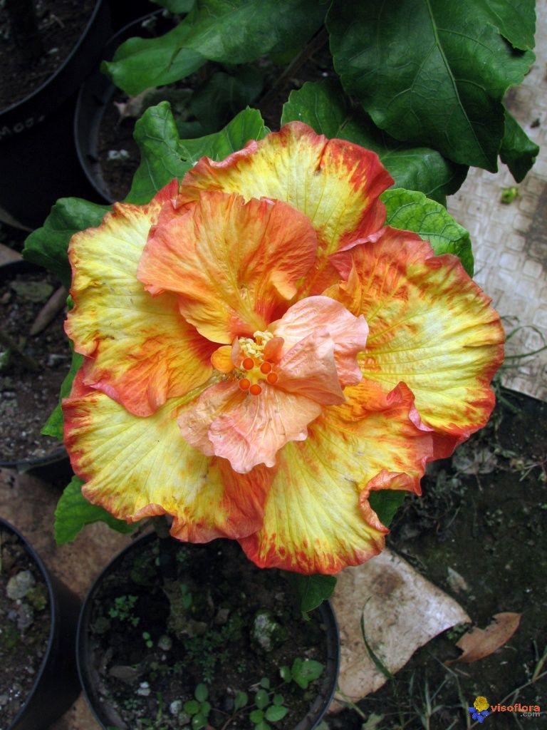 moorea double hibiscus photo pr c dente hibiscus chocolat photo suivante hibiscus bleu. Black Bedroom Furniture Sets. Home Design Ideas