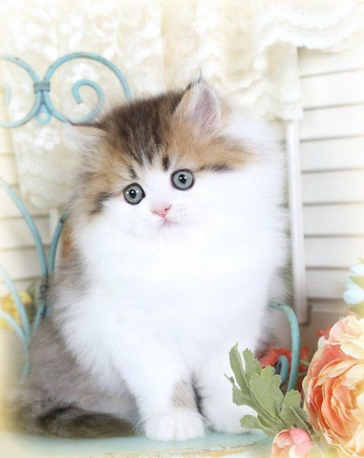 Past KittensUltra Rare Persian Kittens For Sale (660) 292