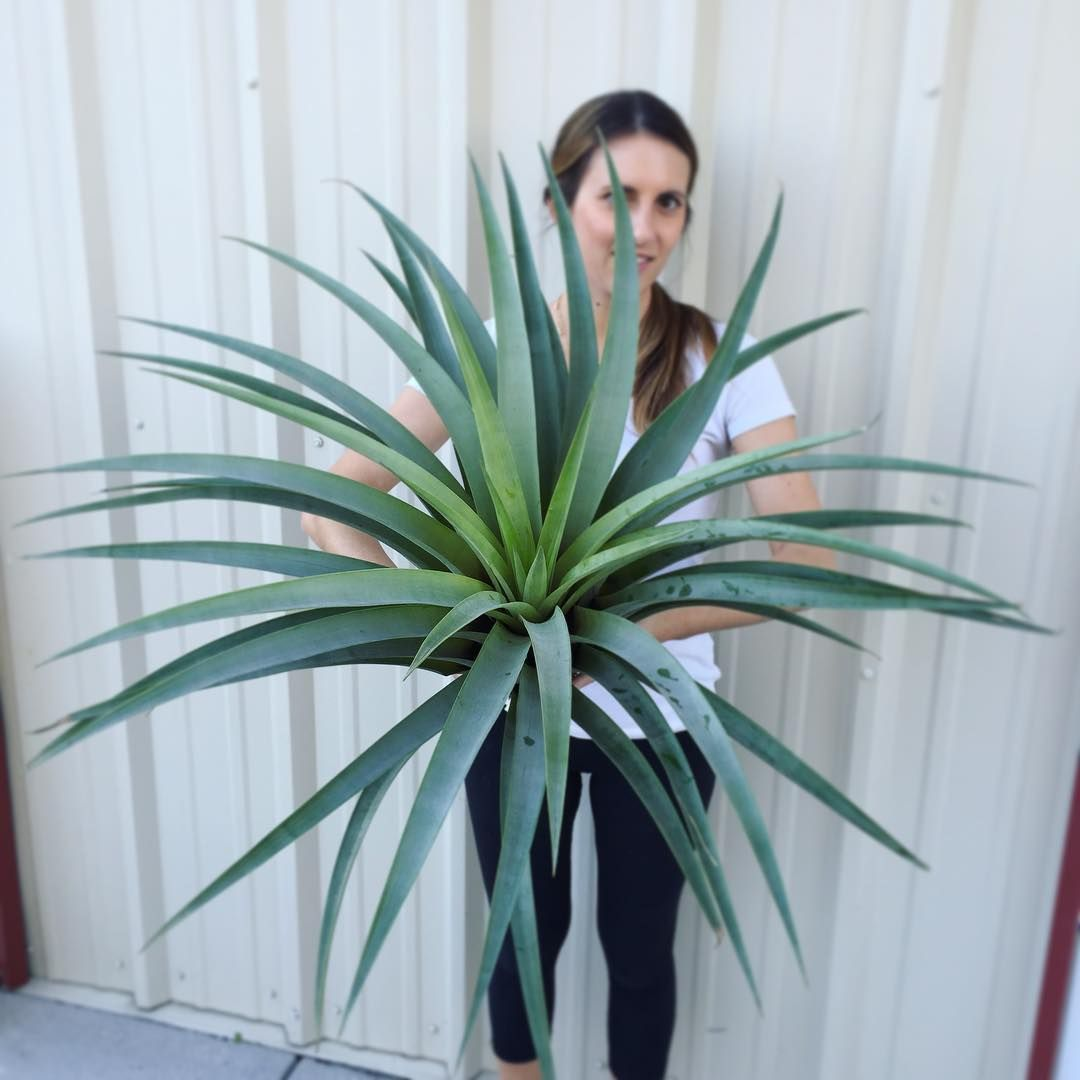 Holy giant air plant this thing almost doesnt look real