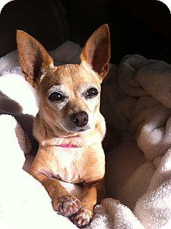 San Diego Ca Chihuahua Mix Meet Chiquita A Dog For Adoption Dog Adoption