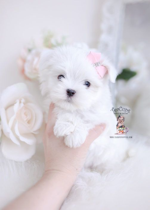 Toy Teacup Puppies For Sale